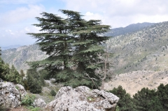 Cedrus_libani_Lebanon.jpg