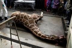 4363092_7_da38_la-depouille-du-girafon-euthanasie-au-zoo-de_cf53968e276fbca2505e59584f3bd692.jpg